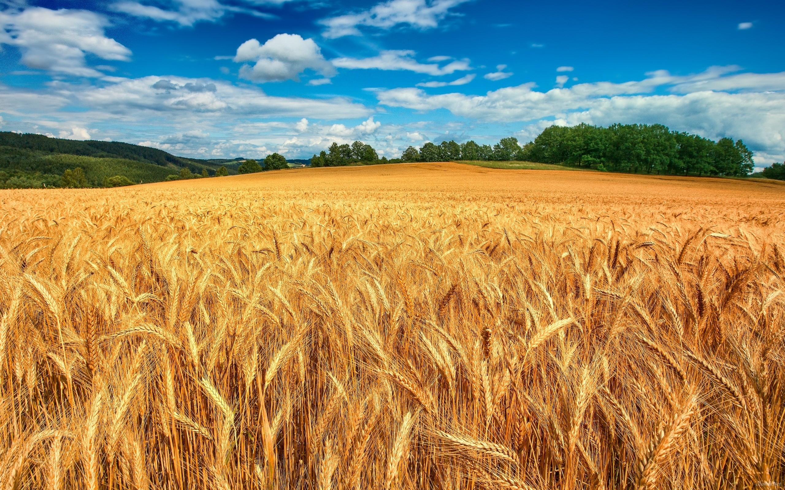 пшеничное поле небо фото